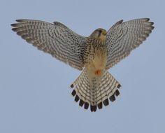 Pretty Birds, Beautiful Birds, Red Tailed Hawk, Power Animal, Kestrel, Birds Of Prey, Bird Species, Raptors, Bird Feathers