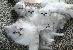 Plush Cats And Kittens Bulk Mother Cat And Kittens On Slide Turkish Angora Cat, Angora Cats, Cute Cats And Kittens, Kittens Cutest, Bb Chat, Mother Cat, Gatos Cats, Mama Cat, Photo Chat