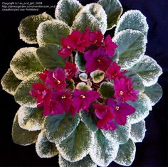 Full size picture of African Violet 'Pow Wow' (Saintpaulia)