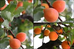 This looks like the view out my bedroom window as a kid. I could lie in bed and pick apricots.