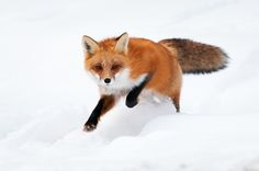 Beautiful capture of a Red Fox running in snow. Photo by Alex Mody, via 500px