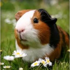 Guinea pigs galore ( daisy )