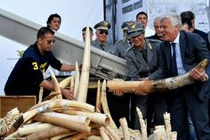 Italian Government Crushes Ivory Worth Approximately US $4.5 Million - The action was taken in response to the discovery that the Somali terrorist group Al-Shabaab was linked to elephant poaching.  http://www.dailymail.co.uk/news/article-3518056/Italy-crushes-ivory-worth-3-6million-trade-linked-Al-Shabaab.html