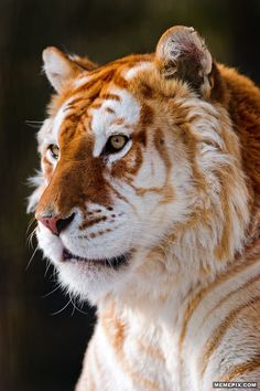 Beautiful golden tiger