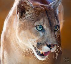Florida Panther in habitat at Gatorama in Palmdale, FL