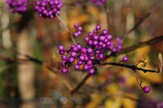 Callicarpa (beautyberry) Seeds Online, Salvia, Hydrangea, Fountain, Bloom, Trees, Purple, Garden, Garten