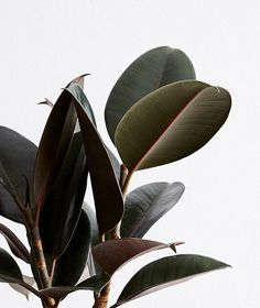 Lawn and Garden Tools Basics How To Care For Your Rubber Tree Ficus Indoor Potted Plant Ansel and Ivy Plant Care Ivy Plant Indoor, Big Indoor Plants, Potted Plants Patio, Cactus House Plants, Ivy Plants, Ficus Tree Indoor, Fall Planters, Cactus Decor, Cactus Art