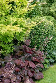 Alunrot 'Palace Purple' (Heuchera 'Palace Purple') i kombination med japansk lönn 'Orange Dream' (Acer Palmatum 'Organde Dream') , ligusterklot och hasselört (Asarum Europaeum).