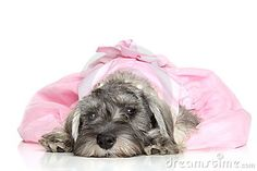 Miniature schnauzer puppy by Jagodka, via Dreamstime