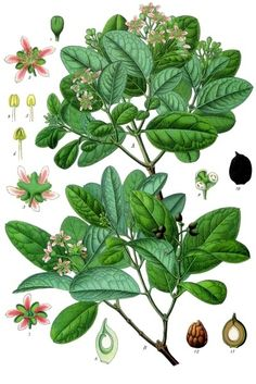 Peumus boldus - Köhler–s Medizinal-Pflanzen-104 - Peumus boldus - Wikipedia