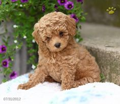 Toy Poodle Puppies