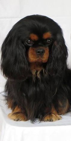 Beauty I love the Black and Tan coloration in the Cavalier King Charles Spaniel.