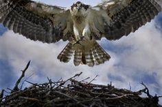 Bird of prey in flight water new ideas Fish Hawk, Bird Cage Centerpiece, Kiwi Bird, Bird Poster, Bird Aviary, Bird Silhouette, Live Fish, Vintage Birds, Birds Of Prey