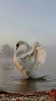 TRULY BEAUTIFUL AND ELEGANT SWAN!