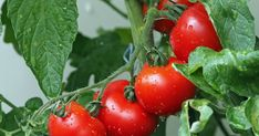 Companion planting is a great way to maximize the efficiency of garden. Companion Planting Guide – 10 Vegetables You Should Plant Together Tomato Fertilizer, Tomato Farming, Growing Vegetables Indoors, Easy Vegetables To Grow, Tomato Seedlings, Tomato Seeds, Tomato Plants, Culture Tomate, Nightshade Vegetables