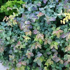 Spirea 'Double Play Blue Kazoo'. A flowering shrub that almost takes care of itself. This super-hardy variety is as versatile as it is colorful. Unique blue-green leaves topped with bold white flowers in the spring. Young foliage has hints of burgundy that gives the plant an eye-catching two-tone appearance. And, once fall rolls around, the leaves turn bright red. Full sun, partial shade. 24-36 inches tall and wide. Zones: 3-8. Bloom Time: May-June. Image: Proven Winners