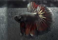 Beautiful Black & Red Half Moon Betta