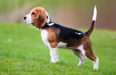 We LOVE our beagle!!