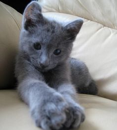 Russian Blue Kitten, I didn't know this breed existed.  So pretty, I want one!