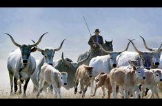 Garcia Marques, Cow, Animals, Animales, Animaux, Cattle, Animal, Animais