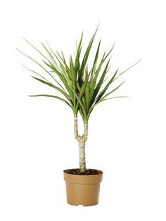 Draketre 'Marginata' Herbs, Plants, Lily, Herb, Plant, Spice, Planting, Planets