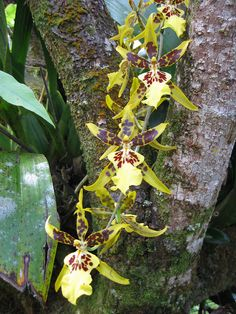Exotic & Ghost Orchids| Yellow