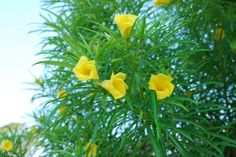 """An easily grown tree with 2"""" fragrant yellow flowers and numerous thin leaves similar to oleander. Although native to tropical regions it may easily be grow indoors with bright light. Its"""