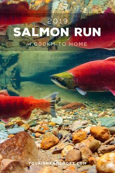 Each year, the Sockeye Salmon, found only in the Northern Pacific Ocean, make their way back to their birthplace to spawn. Sockeye Salmon are semelparous, meaning they die after spawning, and they don't eat during this process but use the fat they stored up over a lifetime. Very few people get the chance to see this rare occurrence or special time in the salmon life cycle. The river is a sight to behold as bright red salmon cram together on the river bed floor.