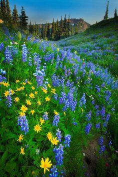 coiour-my-world: Mount Rainier Naches Flowers by Inge Johnsson Beautiful World, Beautiful Gardens, Beautiful Flowers, Beautiful Places, Beautiful Pictures, Mount Rainier National Park, Felder, Landscape Photographers, Beautiful Landscapes