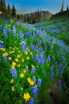 Lupines and sunflowers