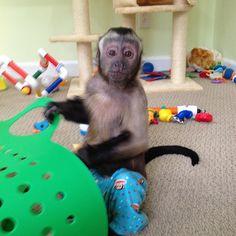 Capuchin Monkey! Baby Animals, Funny Animals, Cute Animals, Animal Babies, Primates, Mammals, Rainforest Pictures, Monkey See Monkey Do, Monkey Business