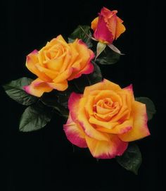 The 'Chris Evert' rose has blushes of red. - Serarslan Kaligrafi - - The 'Chris Evert' rose has blushes of red. Exotic Flowers, Amazing Flowers, Beautiful Roses, Beautiful Gardens, Beautiful Flowers, Tropical Flowers, Beautiful Pictures, Orange Roses, Red Roses