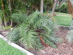 how to grow a minature palm