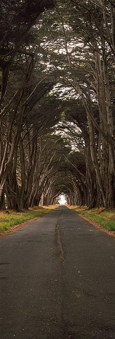 Monterey cypress tree tunnel at the Point Reyes Station, Point Reyes National Seashore, Marin County, California, USA
