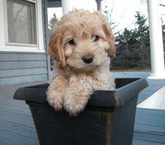 Cute Tan Cockapoo Puppy