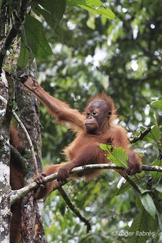 Young orangutan in borneo by Roger Llabrés