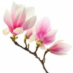 japanese magnolia isolated - Google Search