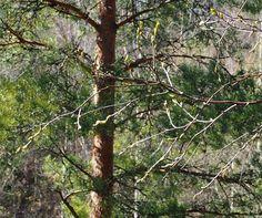 Kotikoivu hiirenkorvilla  #kevät #spring #newbeginnings #uudetalut #seasonsoffinland #thisisfinland #suomi #finland #ig_finland #luonto #nature #ignature #ig_nature #natutephotography #naturphotos #lifestyleblogger #nelkytplusblogit #åblogit