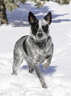 snowy_roo1 by Eyeota, via Flickr. This dog has gorgeous colors