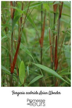 Bambou récent très ornemental, à fin feuillage et chaumes verts teintés de violet à  gaines acajou. Parfait pour les petits jardins. #bambou