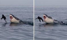 The amazing moment a baby seal escapes from a fully grown shark