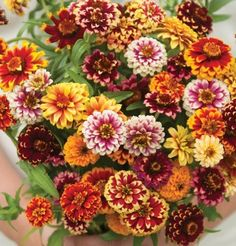 Jazzy Mix Zinnias - Flourished and looked gorgeous in the garden. Bigger and bushier plants than expected but great looking. Types Of Flowers, Cut Flowers, Beautiful Flowers, Garden Seeds, Garden Plants, Zinnia Garden, Planting Bulbs, Planting Flowers, How To Attract Hummingbirds