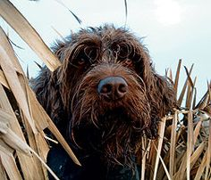 An article from Gun Dog Magazine that spotlights the characteristics of the Wirehaired Pointing Griffon breed.