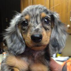 Mini Dapple Dachshund!! <3 him!!