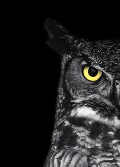 "Great Horned Owl Photo - ""Ladybird"" - 5x7 Black and White Bird Photography Print - Minimal Animal Art - Black Background - Gift under 10"