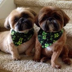 Shih Tzus ... Freddie and Jack