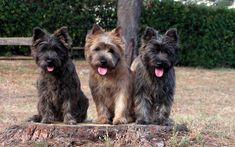cairn terrier trio~