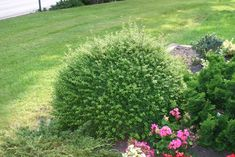 Ilex crenata 'Convexa' instead of buxus