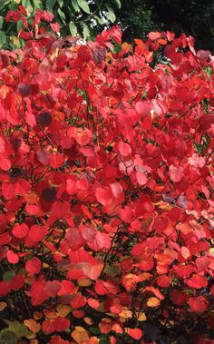 The best trees for autumn colour | The Telegraph Autumn Leaves, Garden Design, Good Things, Trees, Painting, Color, Design Ideas, Cabin, Art