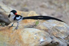 Pin-tailed Whydah | by writhedhornbill